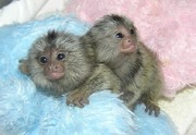 Cute Marmoset Monkeys for Adoption